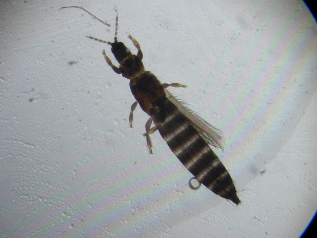 640px Thrips