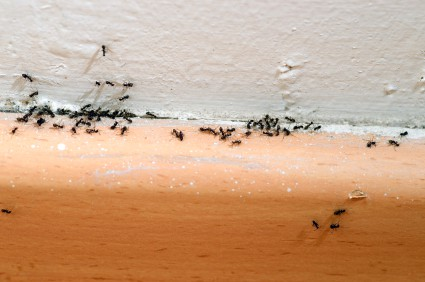 Dealing with an Ant Invasion