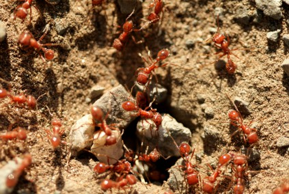 Aggressive Ant Colonies Pose Threat to Human Health